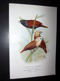 Frohawk & Butler 1899 Antique Bird Print. Black-Headed & White Headed Mannikin
